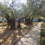 Getsemanes trädgårdar. Jerusalem