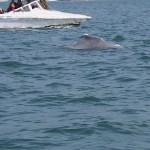 Delfinsafari. Goa
