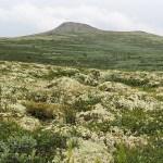 Formokampen. Hövringen. Rondane Nationalpark