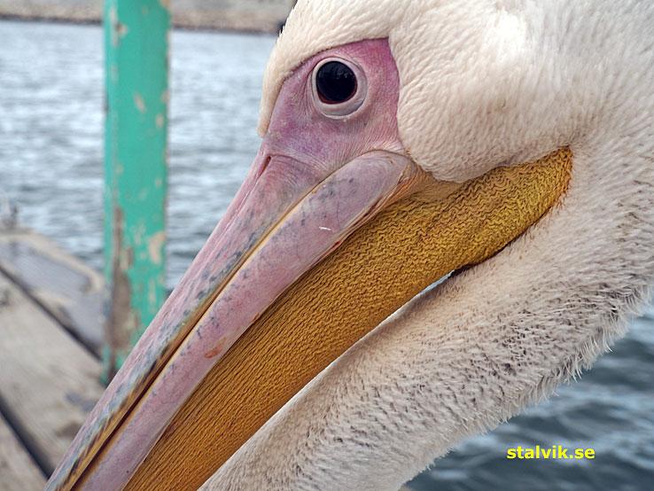 Pelikan. Walvis Bay