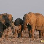 Elefant. Etosha National Park