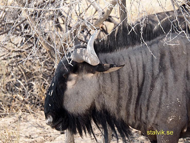 Gnu. Etosha National Park