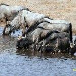 Gnuer. Etosha National Park