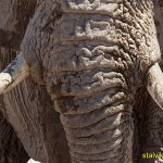 Close up! Elefant. Etosha National Park