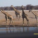 Giraff. Etosha National Park