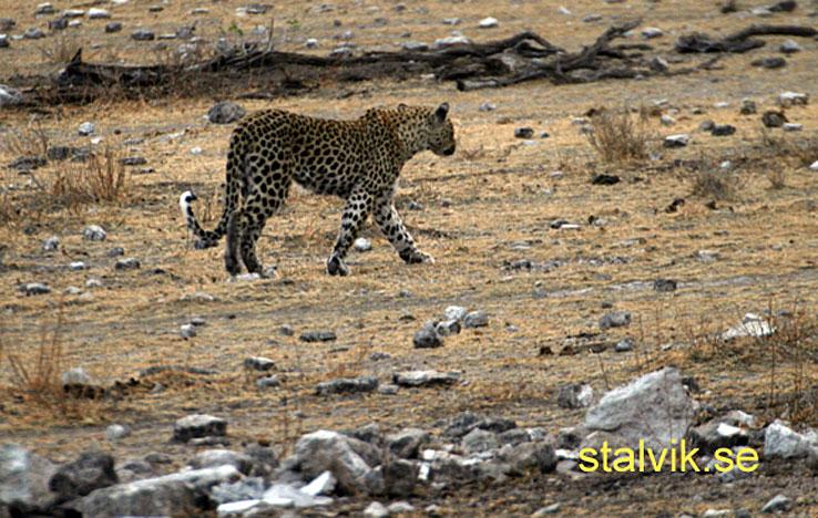 Leopard. Etosha National Park