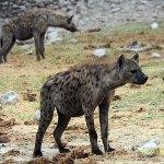 Fläckig hyena. Etosha National Park