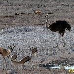 Struts. Etosha National Park