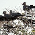 Go-away-bird. Etosha National Park