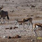 Oryx och springbock. Etosha National Park