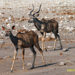 Kudu. Etosha National Park