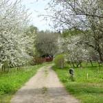 Blommande körsbärsträd. Kinnekulle