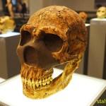 Neanderthalskalle. Historiska museet. Tiblisi