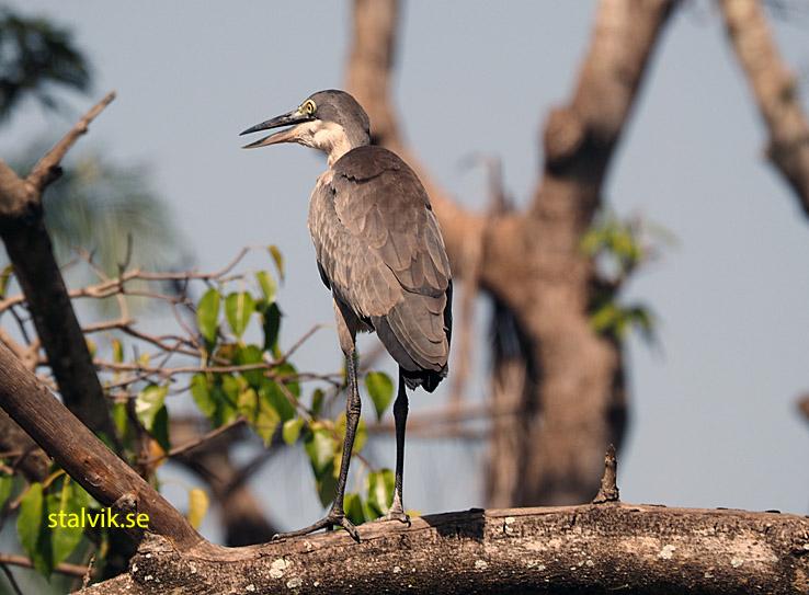 Grå häger. Abuko Nature Reserve