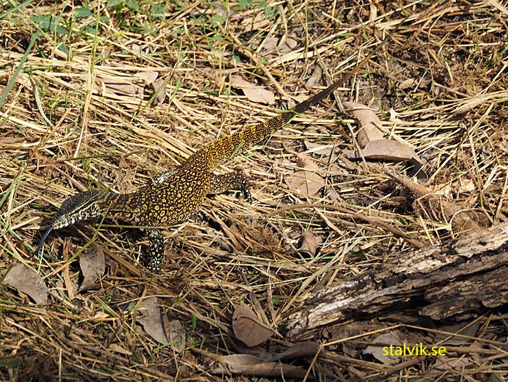 Varan. Abuko Nature Reserve