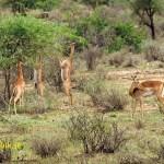 Gerenuk, giraffgasell