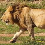 Ståtlig lejonhane
