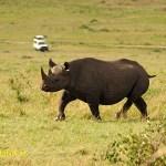 Svart noshörning, spetsnoshörning