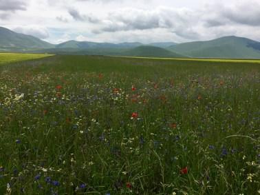 Fält med blommor