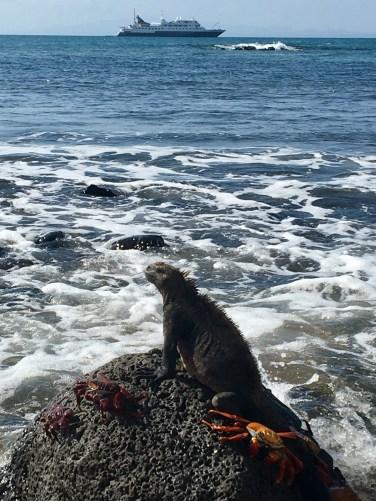 Marine iguana och vår båt