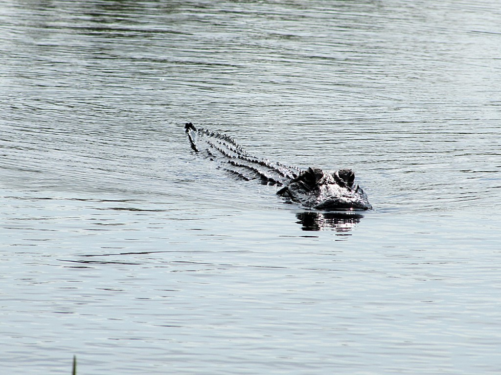 crocodile miami