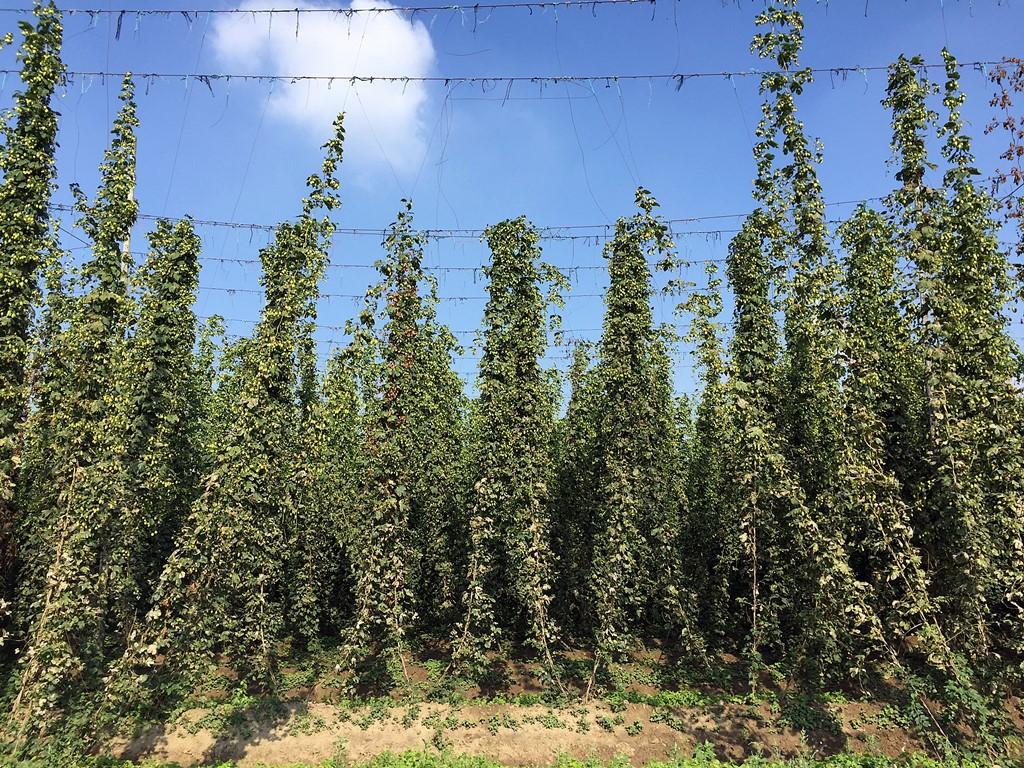 leffe-plantation-de-houblon