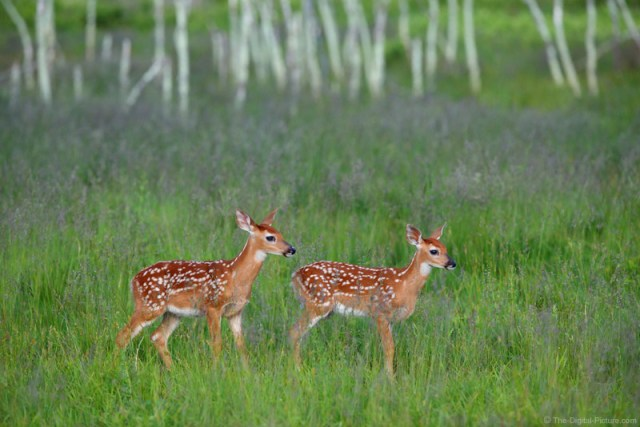 Whitetail Deer Fawns in Big Meadows, Shenandoah National Park