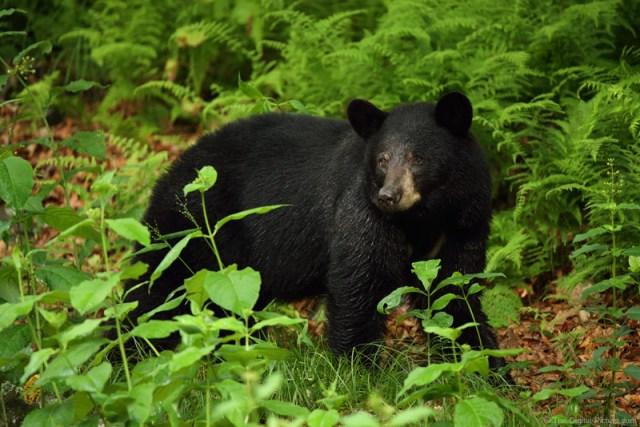 Shenandoah National Park Black Bear