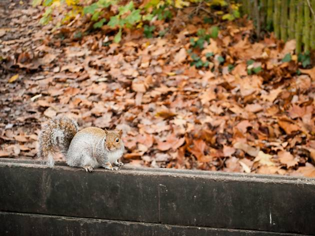 A squirrel frolics in the autumn leaves in Hampstead, London.