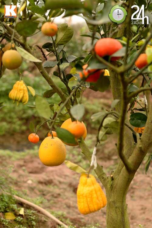Kỳ lạ 1 cây cho 5 loại quả khác nhau, Tin tức Việt Nam, Tin tức trong ngày, cay cam, qua quyt, qua chanh, qua buoi, ngu qua, lao nong, ha noi, thanh oai, ha tay, y tuong, khen ngoi