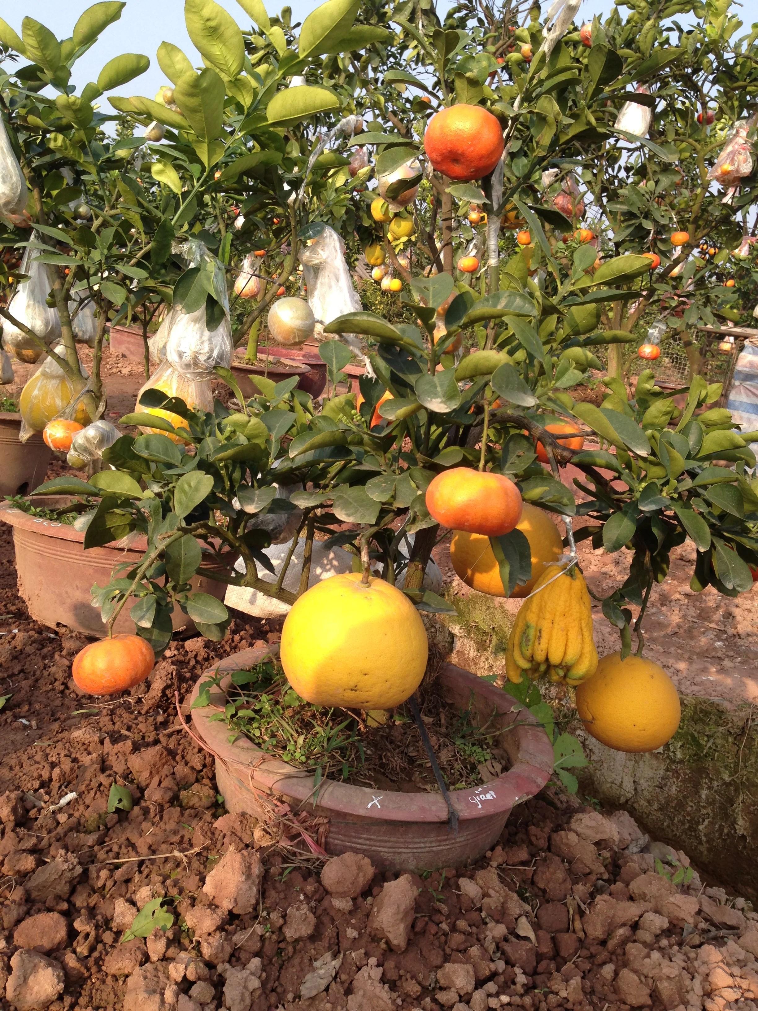 Hình ảnh Chiêm ngưỡng vườn cây Ngũ – Thất - Cửu quả bạc tỷ của lão nông Hà thành số 6