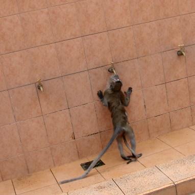 törstig makak