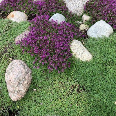 blommande purpurtimjan