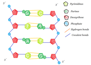 Notes  DNA structure