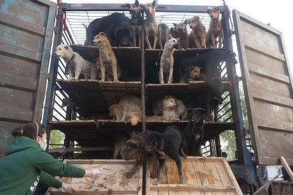 dog meat truck