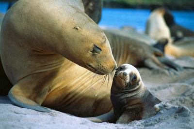 seal with pup
