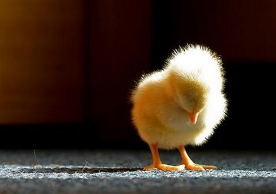 baby chick meatless mondays