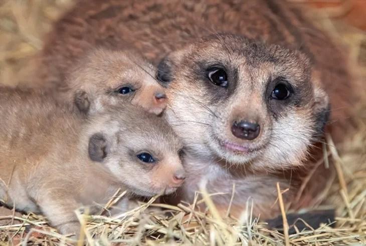 La madre suricata es una hembra de 8 años que llegó en 2012 al Zoológico de Miami .