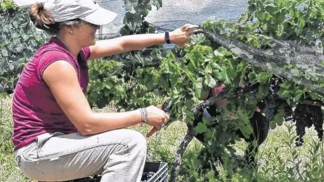 En la costa del Paraná optaron por varietales como la Bonarda, una cepa italiana