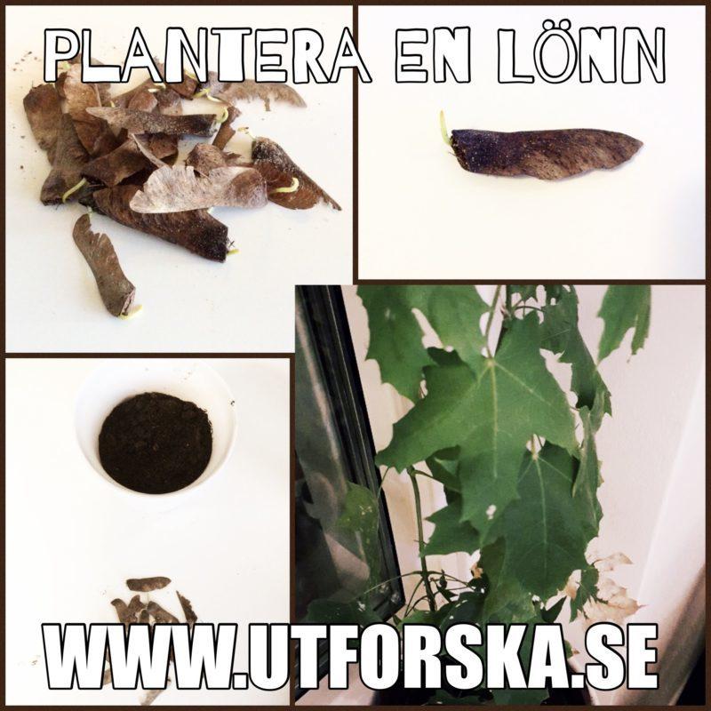 Plantera en egen lönn till hösten