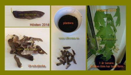 Plantera en Lönn