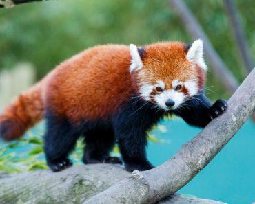 röd panda, röda pandor, kattbjörn, djur, djurliv i Himalaya, djurliv i Asien, utrotningshotade djur, röda pandor leker i snön, filmklipp med röda pandor