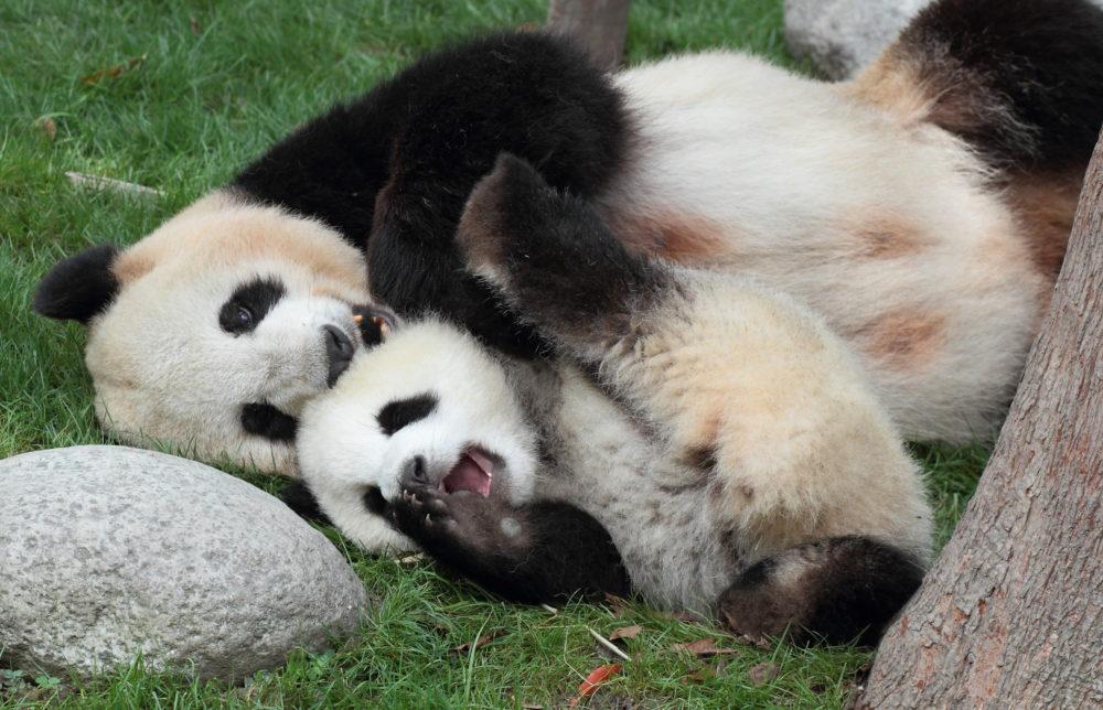 panda, jättepanda, pandor, jättepandor, Kina, resor, Kina resa, nära möten med pandor, pandaungar, pandabebis, bebis panda