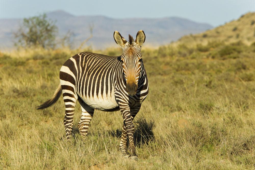 resor, resa, Sydafrika, Cape Point, Kapudden, Kaphalvön, fyr, djur vid Cape Point, djur på Kapudden, zebra, zebror, bergszebror