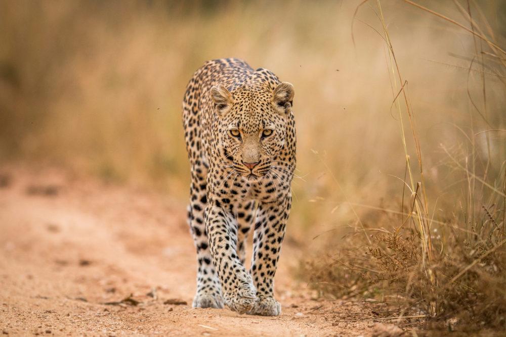resor, resa, Sydafrika, nationalpark, safari, safari i Sydafrika, vilda djur, big five, leopard