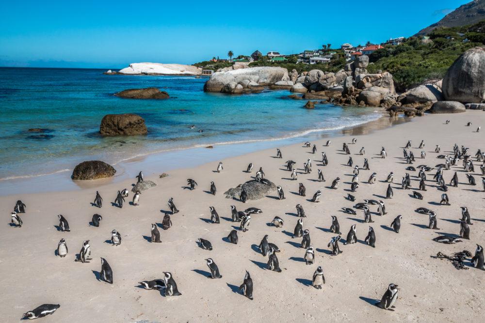 bästa stränderna i världen, strand i Sydafrika, bästa stränderna i Sydafrika, strand i Kapstaden, bästa stränderna i Kapstaden, den sydafrikanska pingvinen, sydafrikanska pingviner, pingviner i Sydafrika