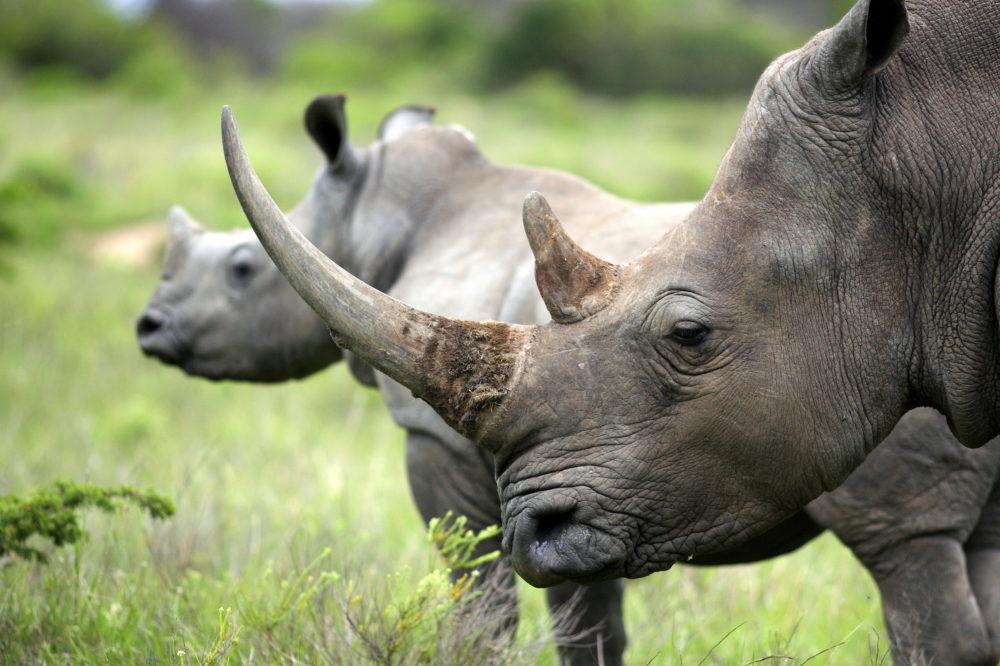 resor, resa, Sydafrika, nationalpark, safari, safari i Sydafrika, vilda djur, big five, svart noshörning