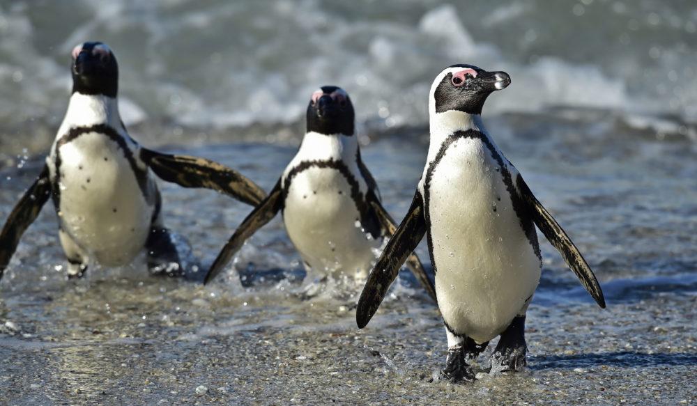 resor, resa, Sydafrika, Boulders Beach, sydafrikansk pingvin, pingviner, jackass penguins, fågel, fåglar, pingviner i Sydafrika, Kapstaden, Cape Town, Simon's Town