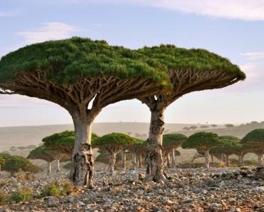 vackraste skogarna i världen, skogar i Jemen, resa till Jemen, drakblodsträd