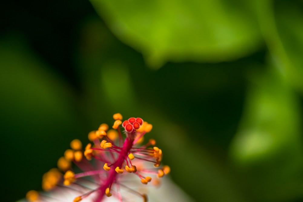 hibiskus, världens sällsyntaste blommor, sällsynta växter, blommor på Hawaii